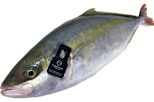 ASC Yellowtail kingfish Hollands 1-2kg